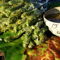 Greek mountain tea - ironwort - Sideritis scardica