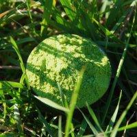 Weizengras Pulver - Premiumqualität