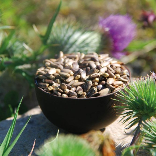 Milk Thistle Seed - Premium quality