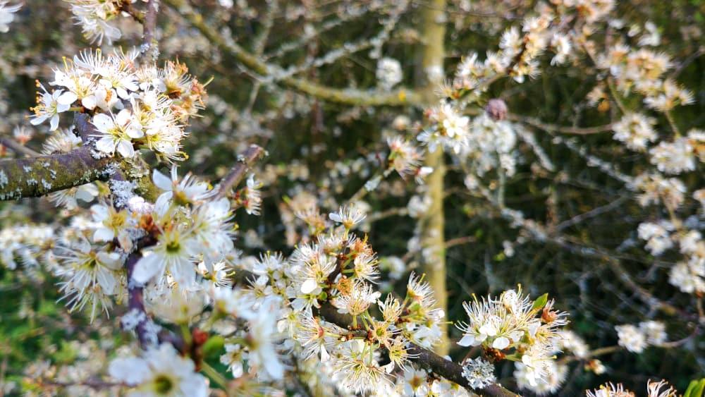 Schlehdorn-Blüte