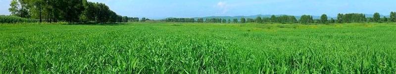 barley grass field
