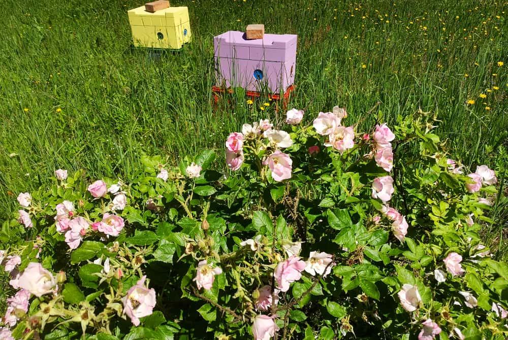 Wildrose mit Bienenstöcken
